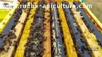 Essaim d' abeilles noires 5 cadres
