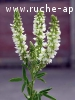 melilot blanc / melilotus albus