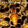 Reines fécondés Buckfast 20 EUR (élevés en France)